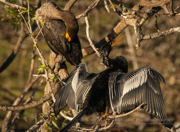 Anhinga and Double-crested Cormorant