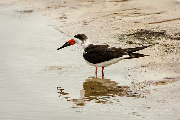 Black Skimmer on the beach