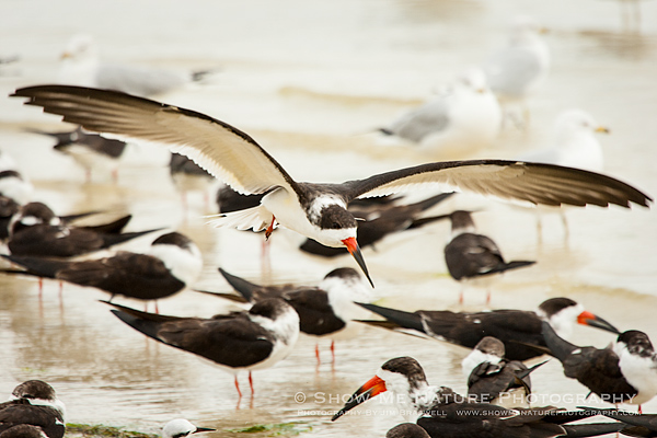 Black Skimmer landing on the beach