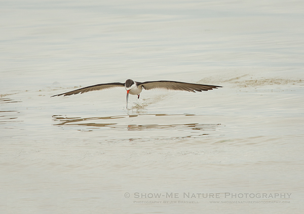 Black Skimmer, skimming across the water