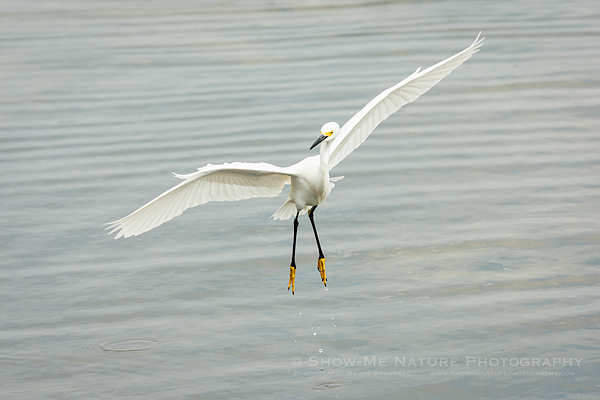 Snowy Egret flying to the beach