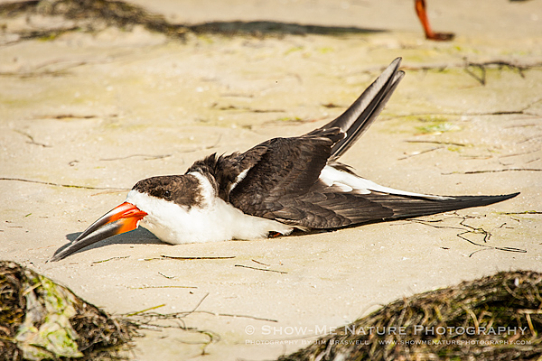 Black Skimmers at rest on the beach