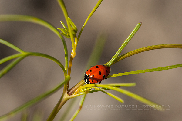 Fun Friday: Lady Beetle | Show Me Nature Photography