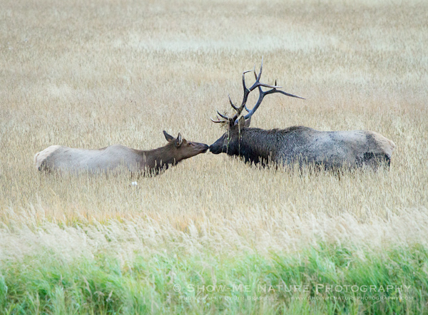 Bull and Cow Elk interaction