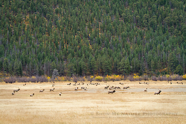 Meadow of bull and cow elk