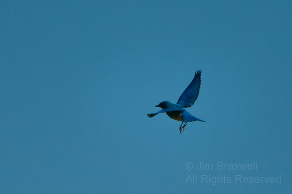 Male Mountain Bluebird hovering