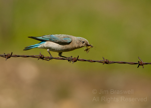 Female Mountain Bluebird with Insect