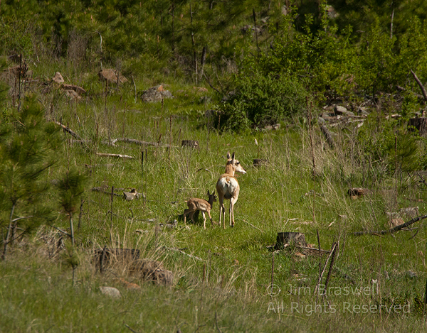 Pronghorn doe with recently-born young