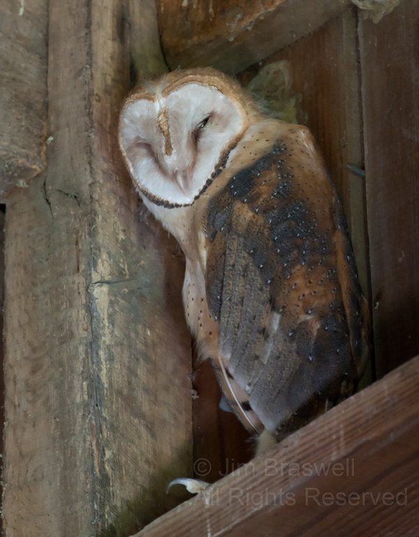 A young Barn Owl napping