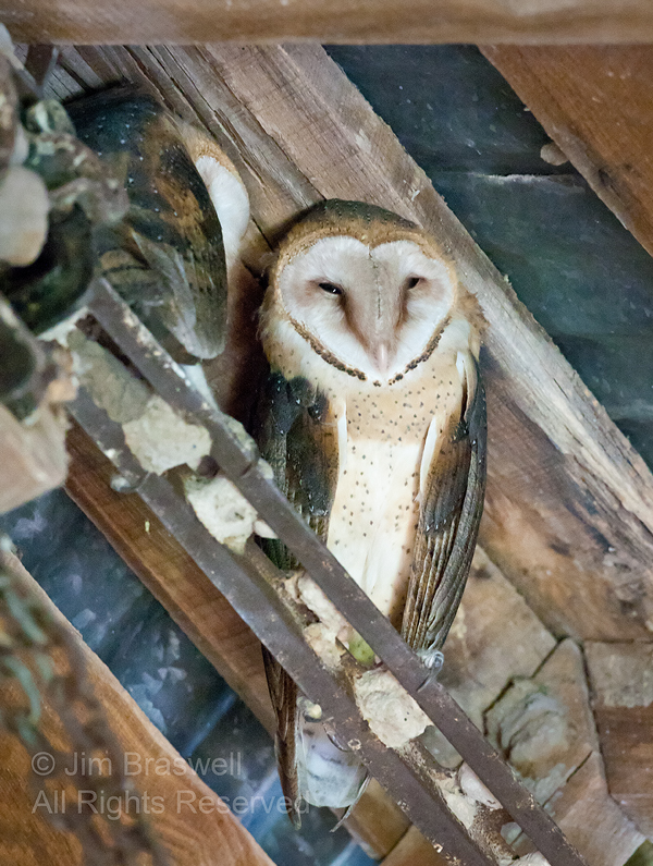 Adult Barn Owl with Young