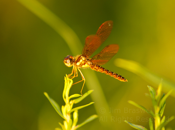 Low-flying Amber-wing