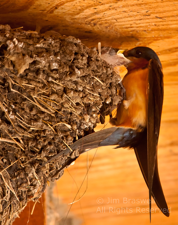 Barn Swallow adult feeding young