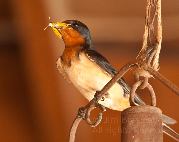 Barn Swallow with Grasshopper in mouth