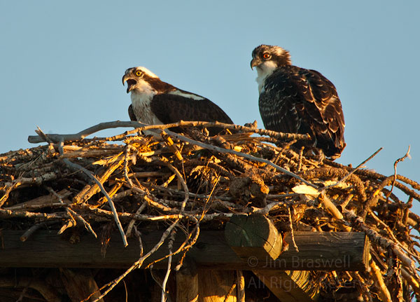 Adult and young Ospreys in nest