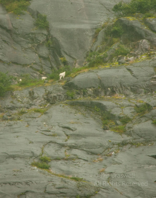 LeConte Mountain Goats