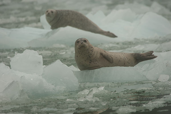 Harbor Seals taking refuge on icebergs