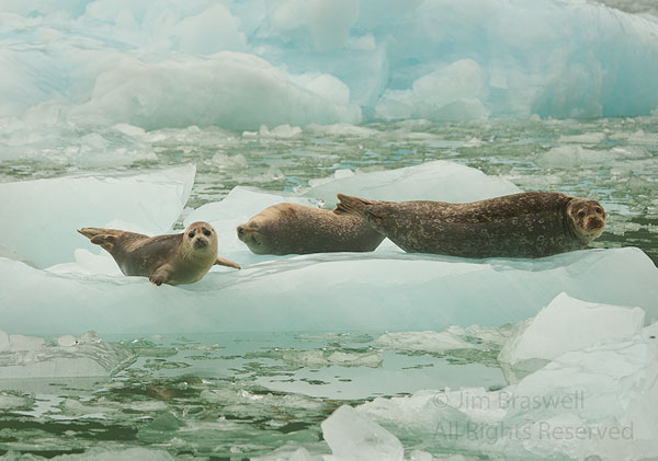 A Harbor Seal family lying on iceberg in LeConte Bay, Alaska