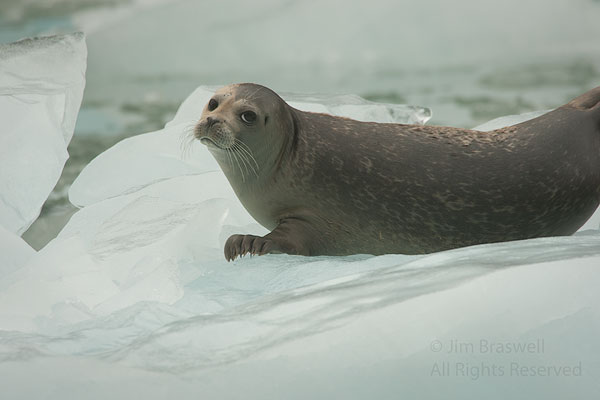 Closeup of a Harbor Seal lying on an iceberg