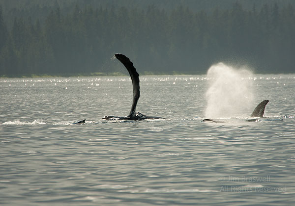 Humpback Whale Slapping Pectoral Fin on Water