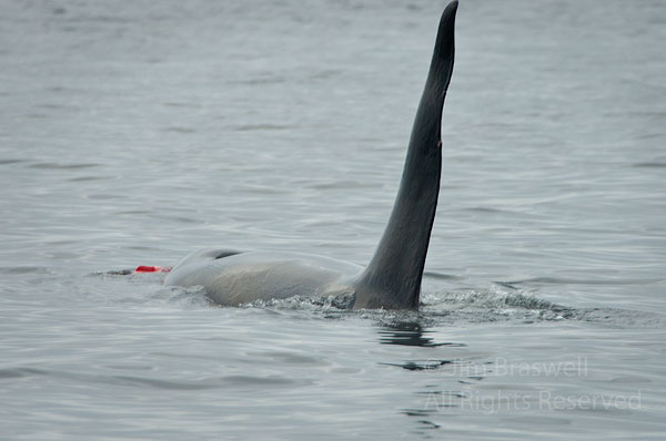 Adult Orca playing with remains