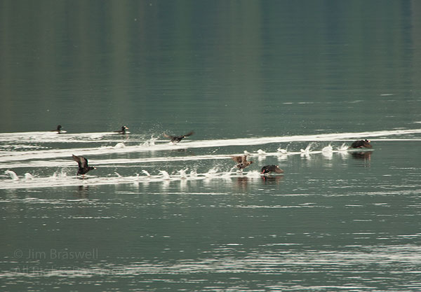 Surf Scoters taking off