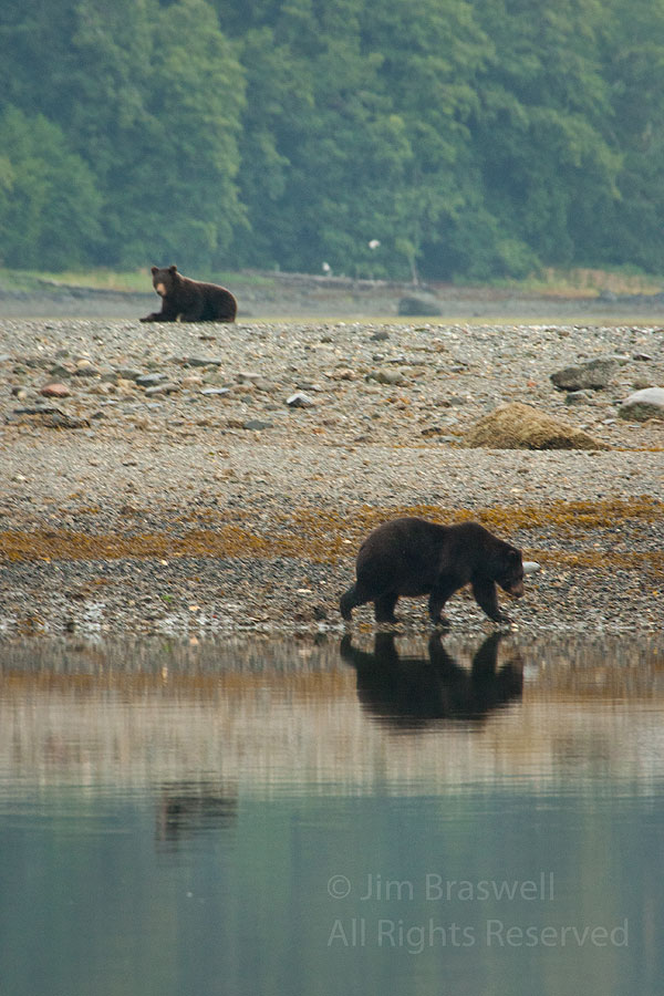 Brown Bears at Pack Creek, Alaska