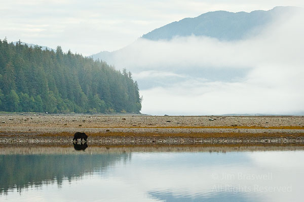Brown Bear foraging shoreline with fog in background