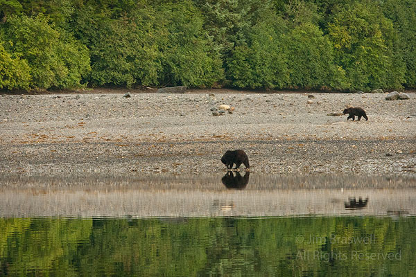 Brown Bear sow with old cub following her
