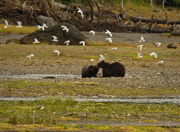 Brown Bear sow and yearling sharing salmon