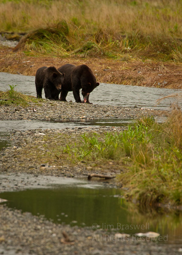 Brown Bear sow and cub share a salmon