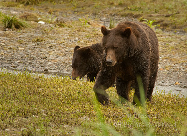 Brown Bear sow and cub approaches us