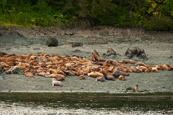 Steller Sea Lions on haulout beach