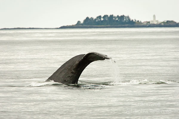 Humpback Whale flukes, with lighthouse in background