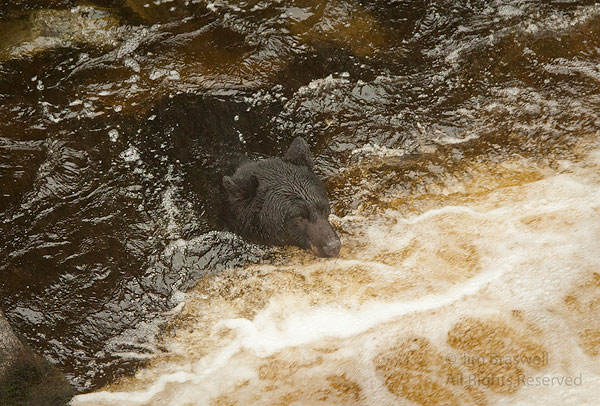 Black Bear fishes in neck-high water in Anan Creek