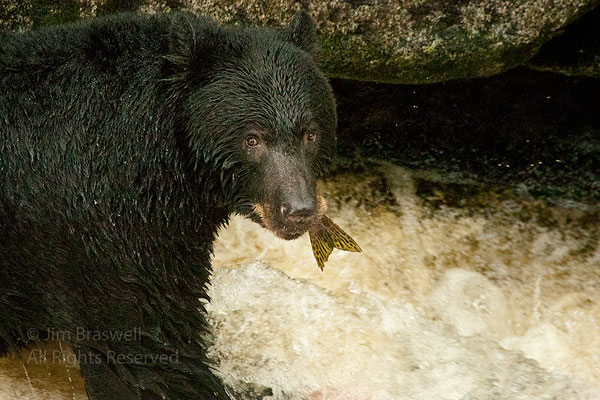 Black Bear with salmon tail in mouth