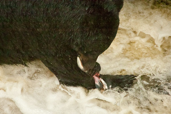 Black Bear with salmon