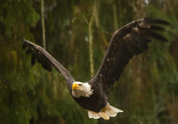 Bald Eagle flying over Anan Creek
