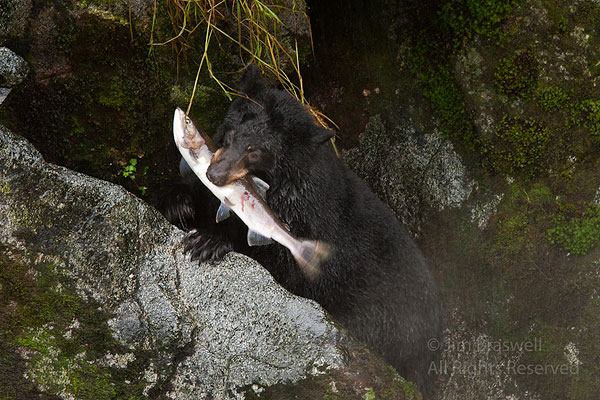 Young black bear with salmon caught in Anan Creek