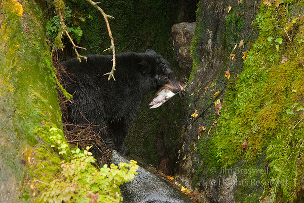 Young black bear looks for a safe place to eat freshly caught salmon