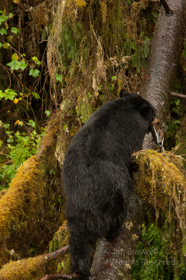 Black Bear climbing tree with a salmon