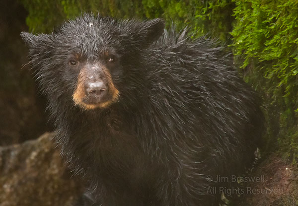 Black Bear spring cub watching our group