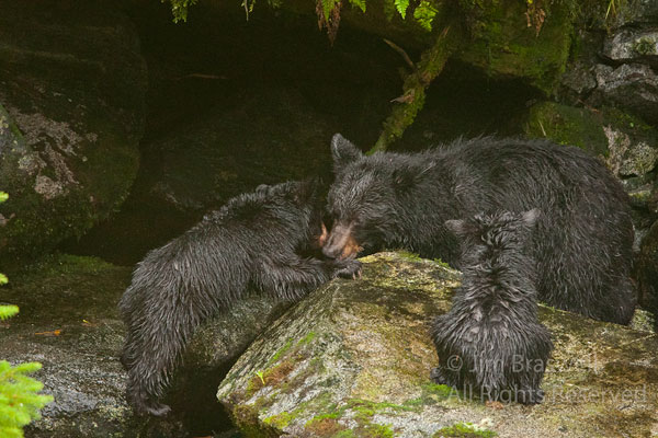 Black Bear sow and spring cubs socializing