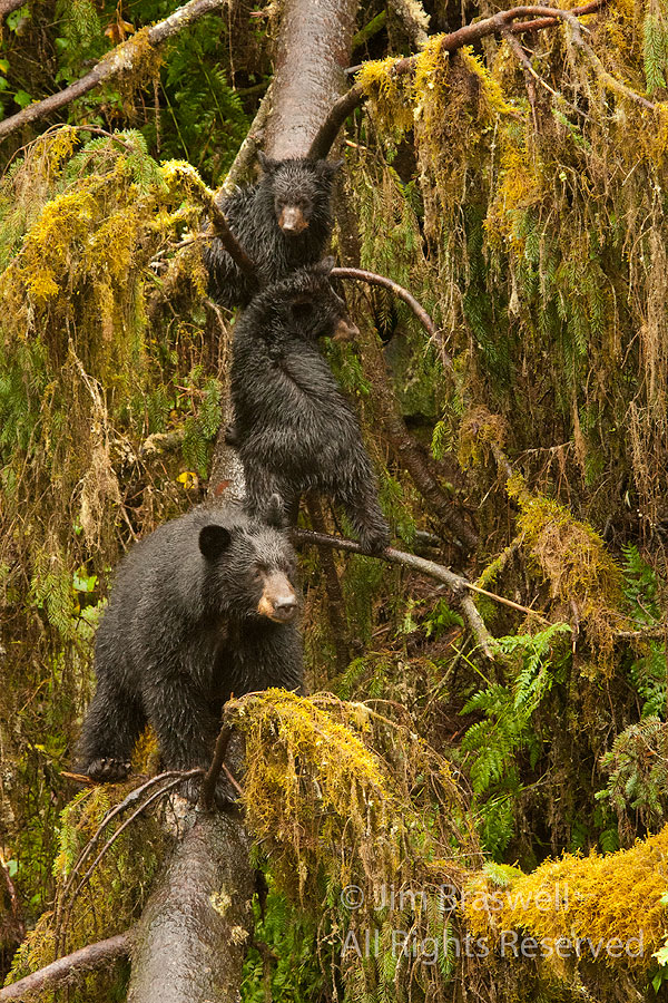 Black Bear sow and her 2 spring cubs in a tree
