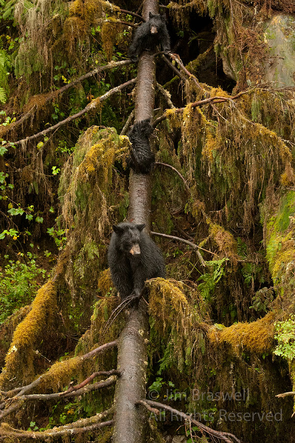 Black Bear sow and spring cubs in a tree