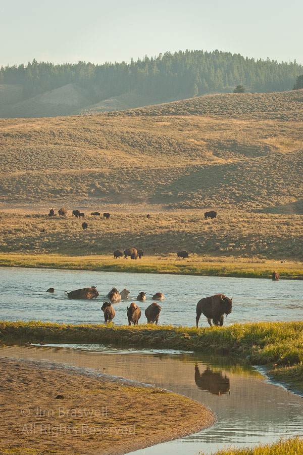 Bison crossing the Yellowstone River