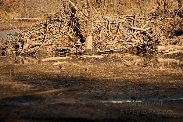 Beaver Lodge in drought conditions