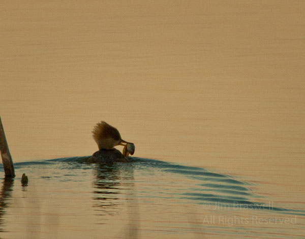 Merganser with breakfast