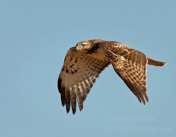 Northern Harrier flying overhead