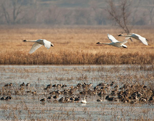 Continuing from yesterday's post on the Trumpeter Swans, there is nothing more beautiful than see...