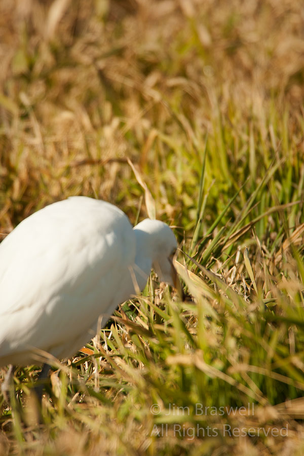 Cattle Egret catching an insect